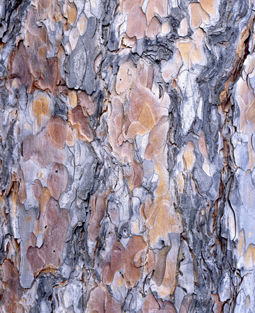 The bark of Red Pine (Pinus resinosa) has interesting colors and texture. Фото со стока