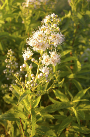 alba: Meadowsweet (Spirea alba) is a common shrub of sedge meadows around the Winnebago Lakes. Stock Photo