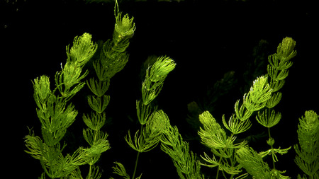 Coontail (Ceratophyllum demersum) is a common submergent aquatic plant, called lake weeds by some. Stock Photo