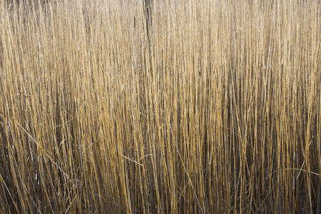 phragmites: Thick stand of Common Reed (Phragmites australis) stems in late winter Stock Photo