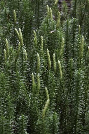 stiff: Stiff Clubmoss plant, Lycopodium annotinum