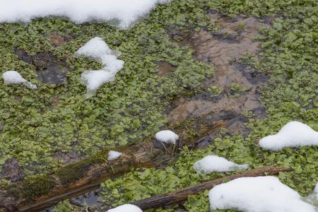 berros: En invierno manantiales activos rara vez se congelan y mantener el aire caliente que rodea suficiente para mantener Berro (Nasturtium officinale) durante el fr�o invierno.