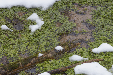 In winter active springs rarely freeze and keep the surrounding air warm enough to keep Watercress (Nasturtium officinale) during the cold winter.