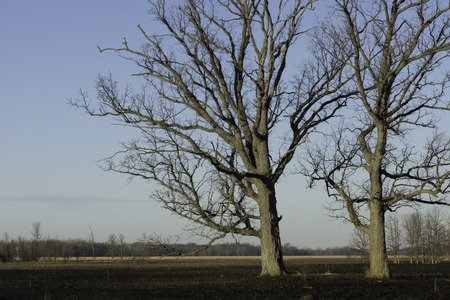 hardly: Two oak trees stand in a burned marsh.  The trees thick bark mean the heat of the fire hardly bothers the old and sturdy trunks.  The ash from the burned grasses and sedges will provide nutrient for the wetland plants. Stock Photo