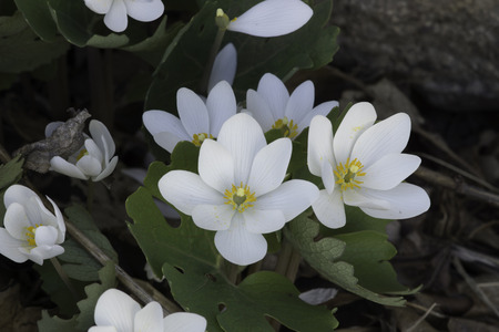 Group of Bloodroot Sanguinaria canadensis wildflowers.  The flower has white petals and yellow centers and can be found in early spring woodlands and forests. Stock Photo