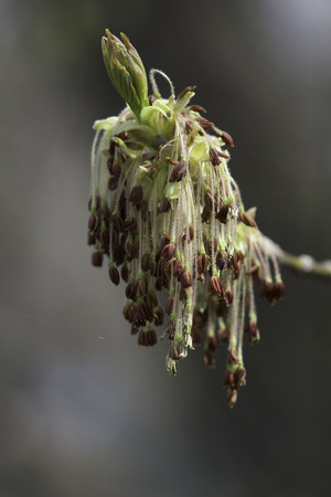 elder tree: Spring flowers of the Box Elder Acer negundo tree which is a species of maple