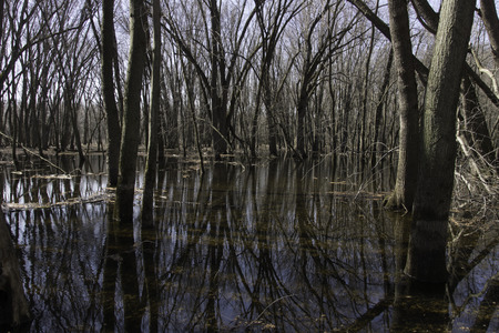 Floodplain forest with standing water in early spring.  At this time of year water floods the swamp and the water fills with calling frogs and swimming ducks.