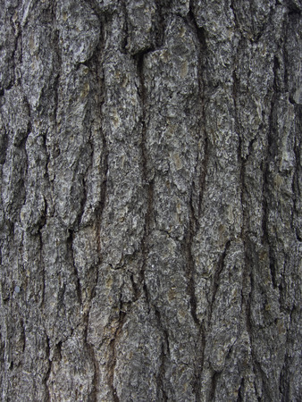 pine creek: Trunk and bark of mature Eastern White Pine tree. Stock Photo