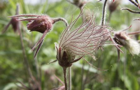 remnant: Flowers of Prairie Smoke (Geum triflorum) on a prairie remnant.