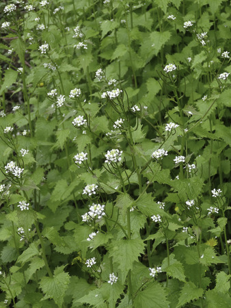 Stand of the invaspecies Garlic Mustard Alliaria petiolata in flower. Stock Photo