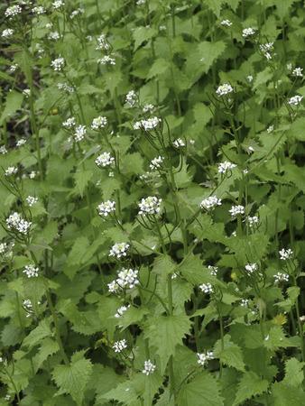 Stand van de invaspecies Garlic Mustard look-zonder-look in bloei. Stockfoto