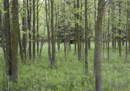 Woodland grove of young Green Ash Fraxinus pennsylvanica trees in spring.