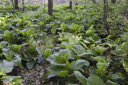 mofeta: Más apestoso Skunk Cabbage