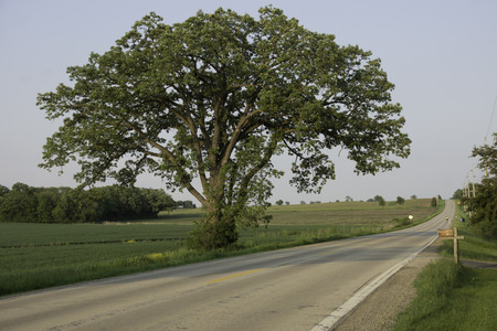 A large, lone Bur Oak tree stand between a wheat field and country road.