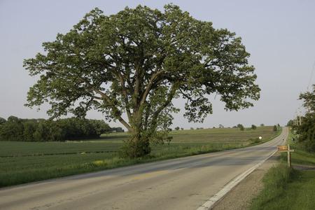 Een grote, eenzame Bur Eik staan tussen een tarwe veld en landweg.