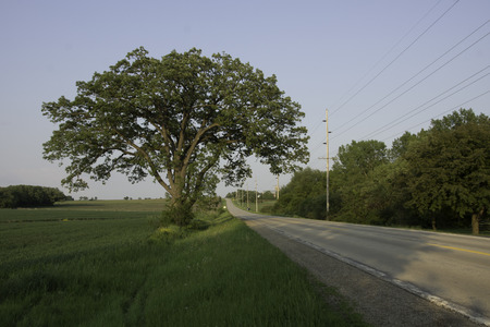 A large, lone Bur Oak tree stand between a wheat field and country road. photo