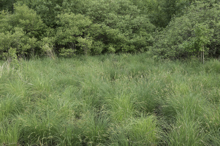 carex: Sedge meadow with Tussock Sedge at the edge of a shrub wetland. Stock Photo