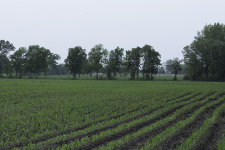 corn rows: Rows of young corn plants lead to a tree-lined field boarder.