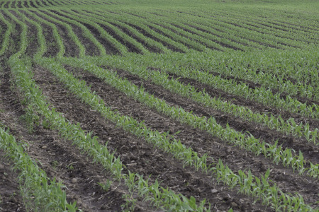 corn rows: Farm field wiith rows of young corn plants. Stock Photo