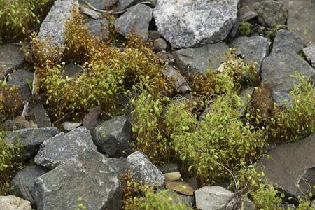 mosses: Moss growing through the cracks among small rocks.
