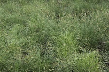 Turf van Tussock zegge (Carex stricta) in een weide zegge wetland.
