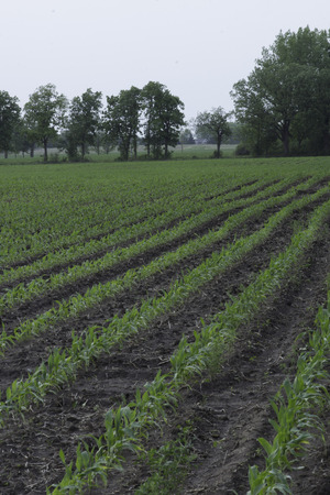 zea: Field of Corn with young corn plants.