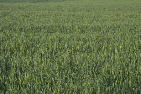 winter wheat: A farm field of green, winter wheat in the evening light. Stock Photo