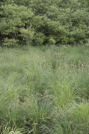タソックのスゲで、湿地帯で、低木の端のスゲで、草原。