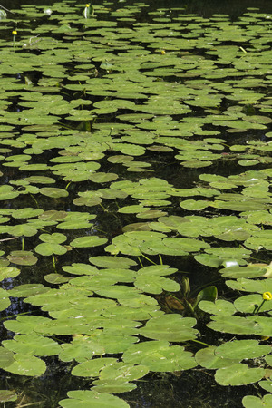 lily pads: A large bed of spatterdock water lily (Nuphar avenda) lily pads.