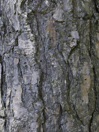 pinus sylvestris: The rough texture of the bark of a mature Scotch Pine tree (Pinus sylvestris).