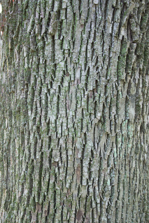americana: The fissured bark of a White Ash Fraxinus americana  tree.  The bark has lichen growing on it providing a green highlight.