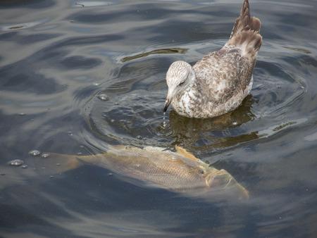 Een meeuw pokes en feeds op een zoetwater drum vis drijvend in een rivier.