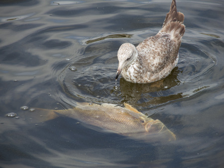 A seagull pokes and feeds on a freshwater drum fish floating in a river.
