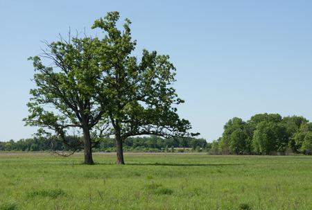 arbol roble: Dos árboles Bur Oak prosperan en un humedal juncia prado. Foto de archivo