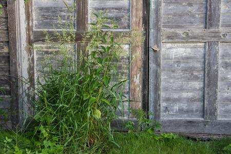 peeling paint: Le porte di un vecchio fienile di legno, mostrano che l'et� e la trascuratezza con peeling vernice e legno stagionato raccordo.