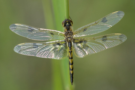 A Calico Pennant Dragonfly (Celithemis elisa) warms itself in the sun while resting on blade of grass. Stock Photo