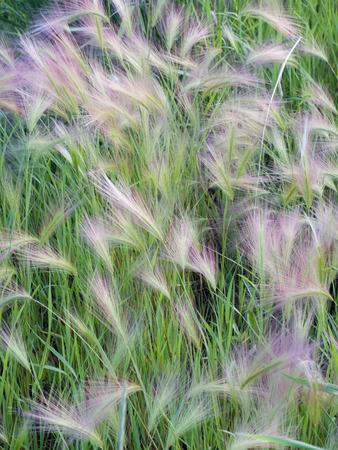 De vederachtige groei van Vossestaart nauwelijks (Hordeum-jubatum) is een weedy gras vaak gevonden in gebieden en langs kant van de weg. Stockfoto