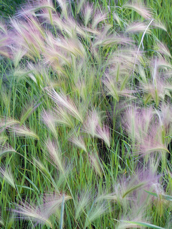 barely: Feathery growth of Foxtail Barely (Hordeum jubatum) a weedy grass often found in fields and along roadsides.