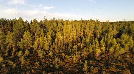 aerial photograph: Elevated view of the treess at the edge of a conifer swamp and bog.
