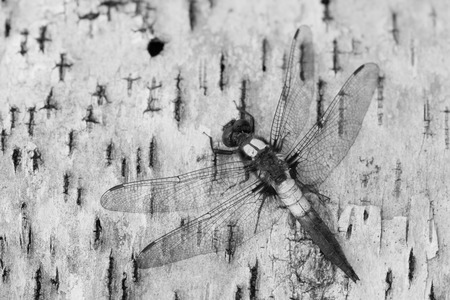 corporal: Chalk-fronted Corporal Dragonfly (Ladona julia) resting on a Paper Birch bark.