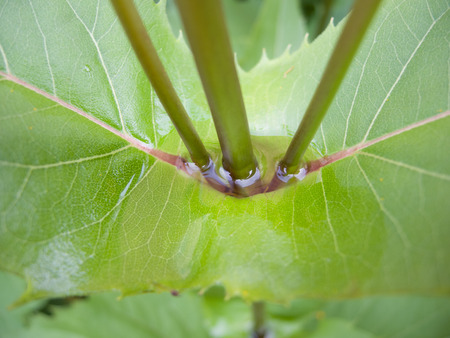 The connected leaves of the aptly named Cup Plant (Silphium perfoliatum) hold water after a rain which can provide birds and insects drinking water for a few days after a shower. Imagens