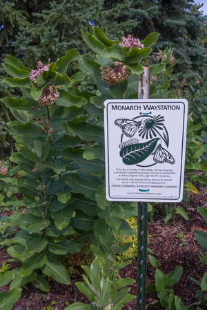 Monarch Waystation sign with Common Milkweed (Asclepias syriaca)  in background.  This butterfly garden gives monarch butterflies (Danaus plexippus) and other insects a place to feed, rest, and lay eggs.