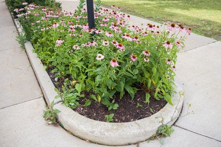echinacea purpurea: A planning of Purple Coneflower,  Echinacea purpurea in the middle of a sidewalk brings a bit of the garden to this pedestrian path.