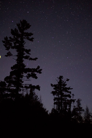starry night sky: A large Eastern White Pine is silhoetted againts the starry night sky.