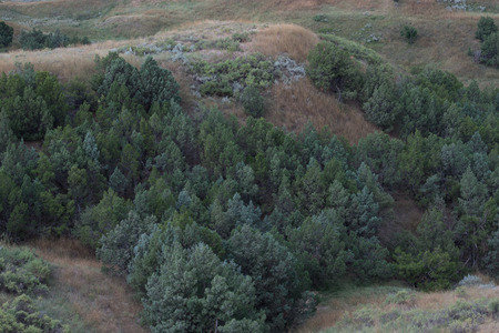rocky mountain juniper: Rocky Mountain Juniper (Juniperus scopulorum)  trees in the valleys of the shortgrass prairie.