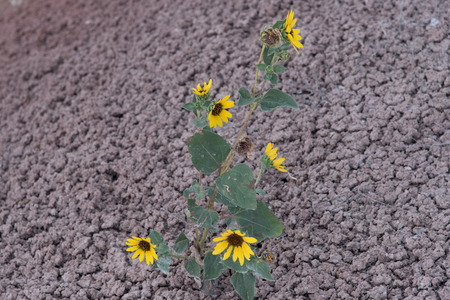 helianthus: Annual Sunflower (Helianthus annuus) growing on dry, poor soil.  Domestic sunflowers were bred from the wild Annual Sunflower.