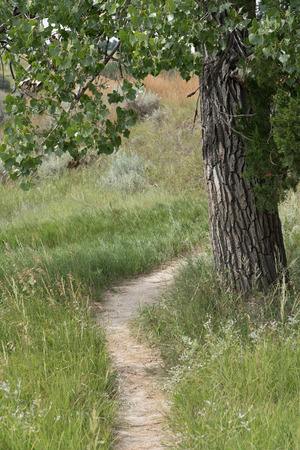 cottonwood tree: A bison (Buffalo) trail passes through the grassland, under the shade of a Plains Cottonwood (Populus sagentii) tree, which also makes a good scratching post of these big animals.