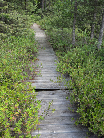 foot path: A boardwalk for hikers runs over a bog and conifer swamp, providing a dry foot path for the travelers.