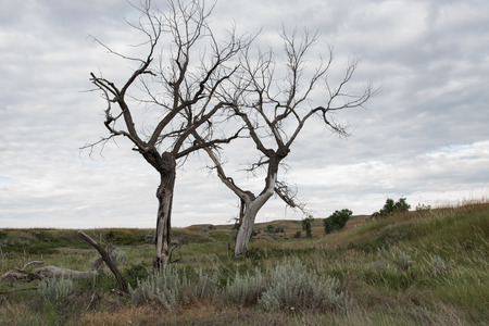 cottonwood tree: The skeletons of dead Plains Cottonwoods (Populus sargentii) trees extending from the prairie.