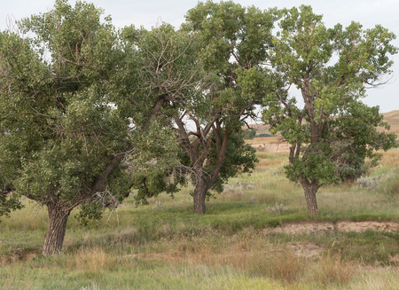 cottonwood: Group of Plains Cottonwood (Populus sagentii) trees growing in the shortgrass prairie. Stock Photo